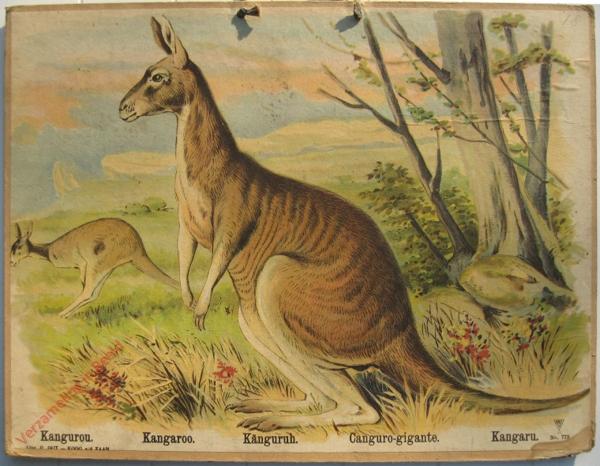 773 - Kangurou, Kangaroo, Kanguruh, Canguro-gigante, Kangara